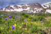 """Spring Sky Pilot Flowers and the Snowy Range Mountains, Wyoming"" Fine Art Photographic Print 