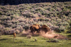 """Battling Bison, Yellowstone National Park, Wyoming"" Fine Art Photographic Print - Seneca Creek Studios"