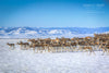"""Spring Herd of Pronghorn Antelope, Laramie Valley, Wyoming"" Fine Art Photographic Nature and Landscape Prints by Allison Pluda 