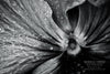 """Morning Rain on the Face of a Pansy, Black and White"" Fine Art Photographic Print - Seneca Creek Studios"