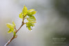 """Baby Aspen Leaves in a Spring Rain, Wyoming"" Fine Art Photographic Nature and Landscape Prints by Allison Pluda 