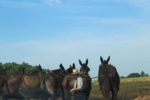 Mules ready to work