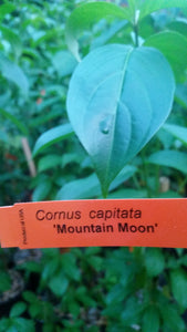 Cornus 'Mountain Moon' Evergreen Dogwood
