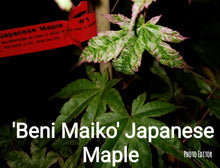 'Beni Maiko' Japanese Maples- GREEN, BROAD LEAF