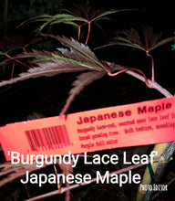 'Burgundy Lace Leaf'-RED Japanese Maples