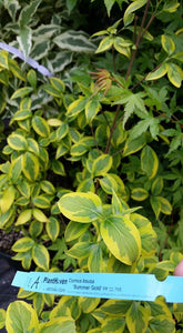 Cornus 'Summer Gold' Dogwood