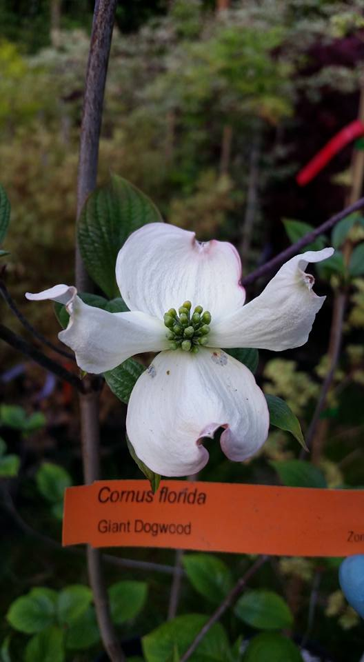 Cornus florida-Flowering Dogwoods (un-Grafted-Disease Resistant Root-Stock) in dogwoods