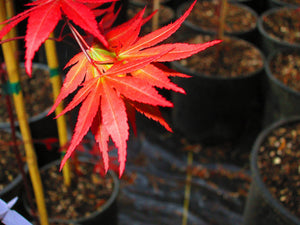 Acer Palmatum 'Dragon Tears' Japanese Maples