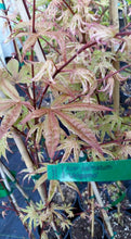 Acer Palmatum 'Uki Gumo' Floating Cloud Japanese Maples