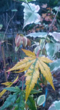 Acer Palmatum Green Broad-Leaf Japanese Maples