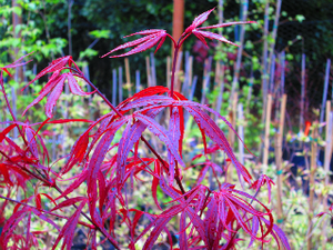 Acer Palmatum 'Hubbs Red Willow'  Japanese Maples