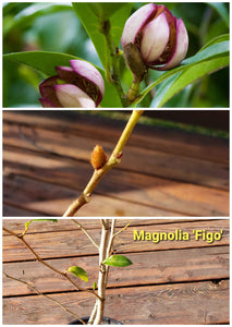 Magnolia Figo 'Port of Wine' Banana Shrub