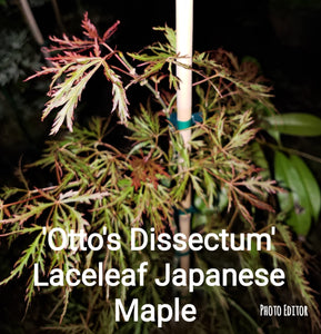 Otto's Dissectum green lace leaf Japanese Maples