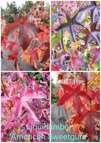 LiquidAmbar 'American Sweetgum' other varieties
