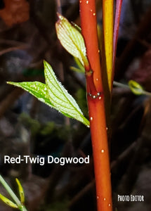 Cornus sericea-Red twig Dogwood