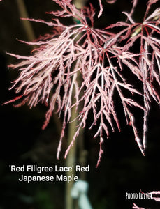 Acer Palmatum 'Red Filigree-Lace' Japanese Maples