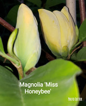 Magnolia 'Miss HoneyBee'