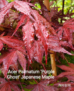 Acer Palmatum 'Purple Ghost'  Japanese Maples