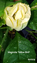 Magnolia 'Yellow Bird'