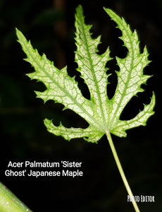 'Sister Ghost' Japanese Maple
