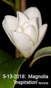 Magnolia 'Inspiration' Evergreen Magnolias