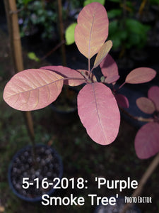'Purple Smoketree' Cotinus coggygria var. Pupura- in Other Varieties
