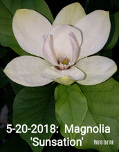 Magnolia 'Sunsation'