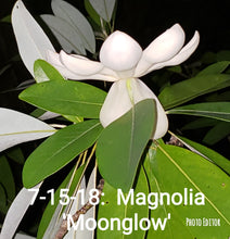 Magnolia 'Moonglow'