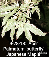 Acer Palmatum 'Butterfly' Japanese Maples