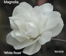 Magnolia 'White Rose'