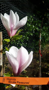 Magnolia 'Simple Pleasures'
