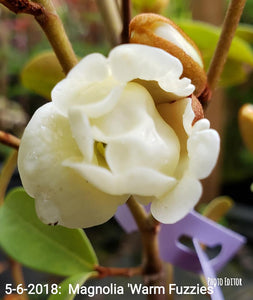 Magnolia laevifolia 'Warm Fuzzies' Evergreen