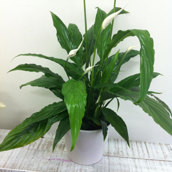 Peace Lily Plant & Ceramic Pot