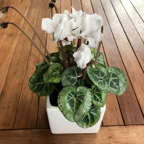 Mini Cyclamen and Ceramic Pot