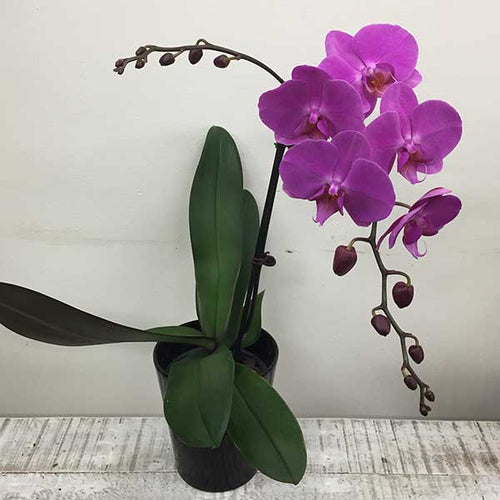 Coloured Phalenopsis Orchid Plant & Pot