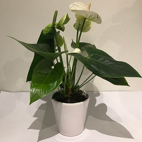 White Anthurium Plant & Pot