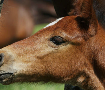 <h3>Regular Worming of Foals is Vital!</h3>
