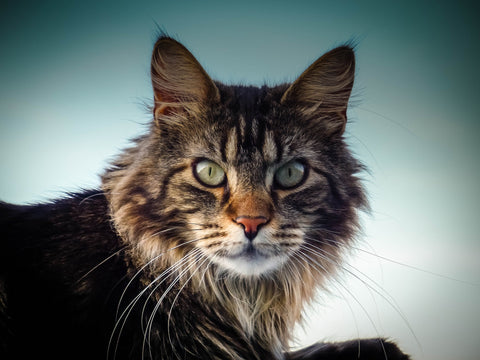 Maine coon cat personality