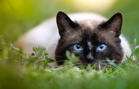 Siamese cat personality