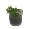 Maidenhair Fern Terrarium Pot Plant