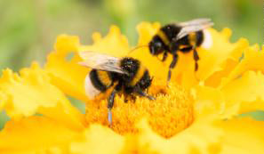 Pesticides damage the brains of baby bees, new research finds