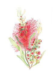Blooming Bottlebrush