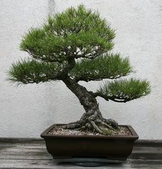 Japanese Pine Bonsai Tree (50 Seeds)