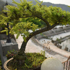 Juniper Bonsai Maple Tree Seeds (20 seeds)