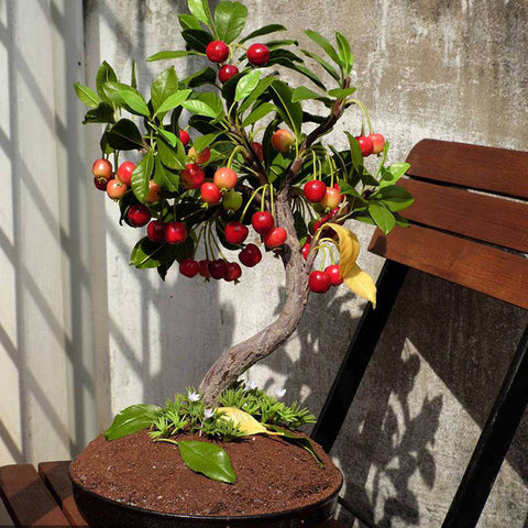 Exotic Fruit Bonsai Tree Seeds