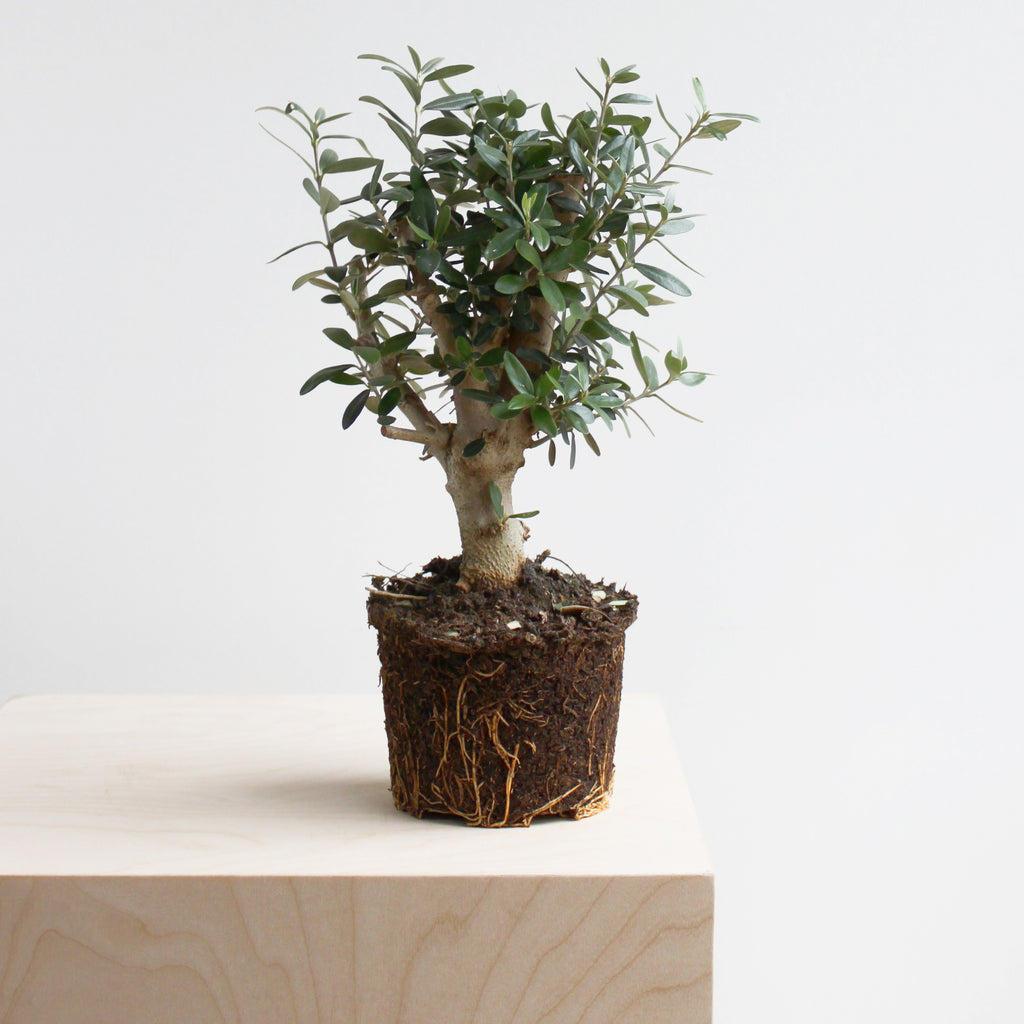 Arbequina Olive Tree S Size
