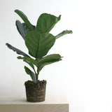 Fiddle Leaf Fig L Size