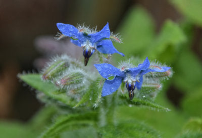 Borago Officinalis (Borage) Seed Oil