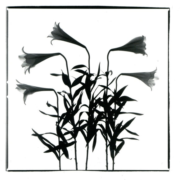 White Lilies, 1996 by Régis D'Audeville - 6 X 6 Inches (Greeting Card)