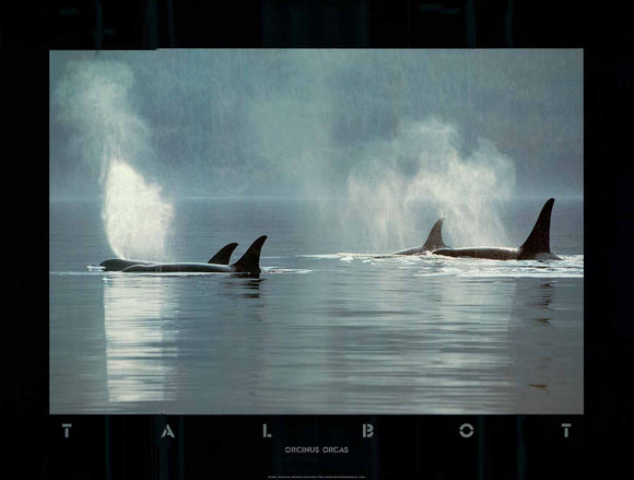Orcinus Orcas, 1984 by Bob Talbot - 18 X 24 Inches (Art Print)